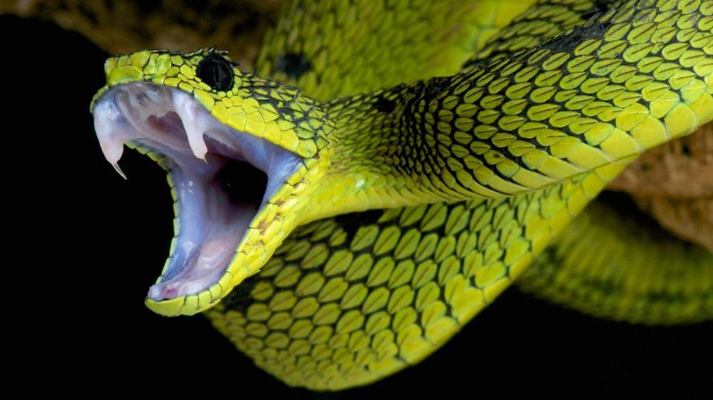 Snakes-fangs.ngsversion.1413818001976.adapt.1900.1